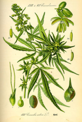 Hampans Historia - Cannabis Sativa