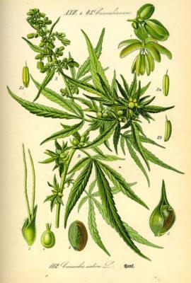 Hampans Historia - Cannabis Sativa